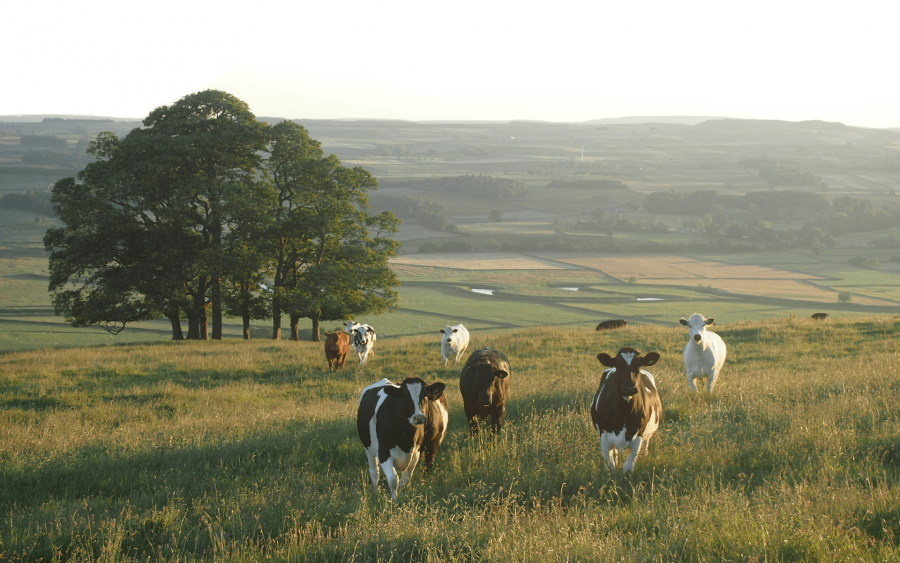 Tierschutz Kühe