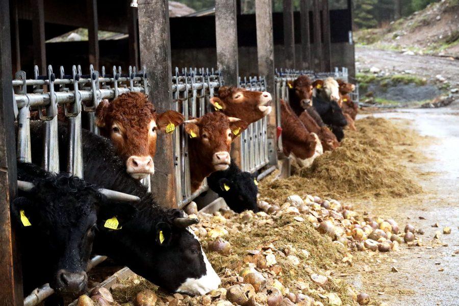 Gründe gegen Leder: Massentierhaltung Kuhstall
